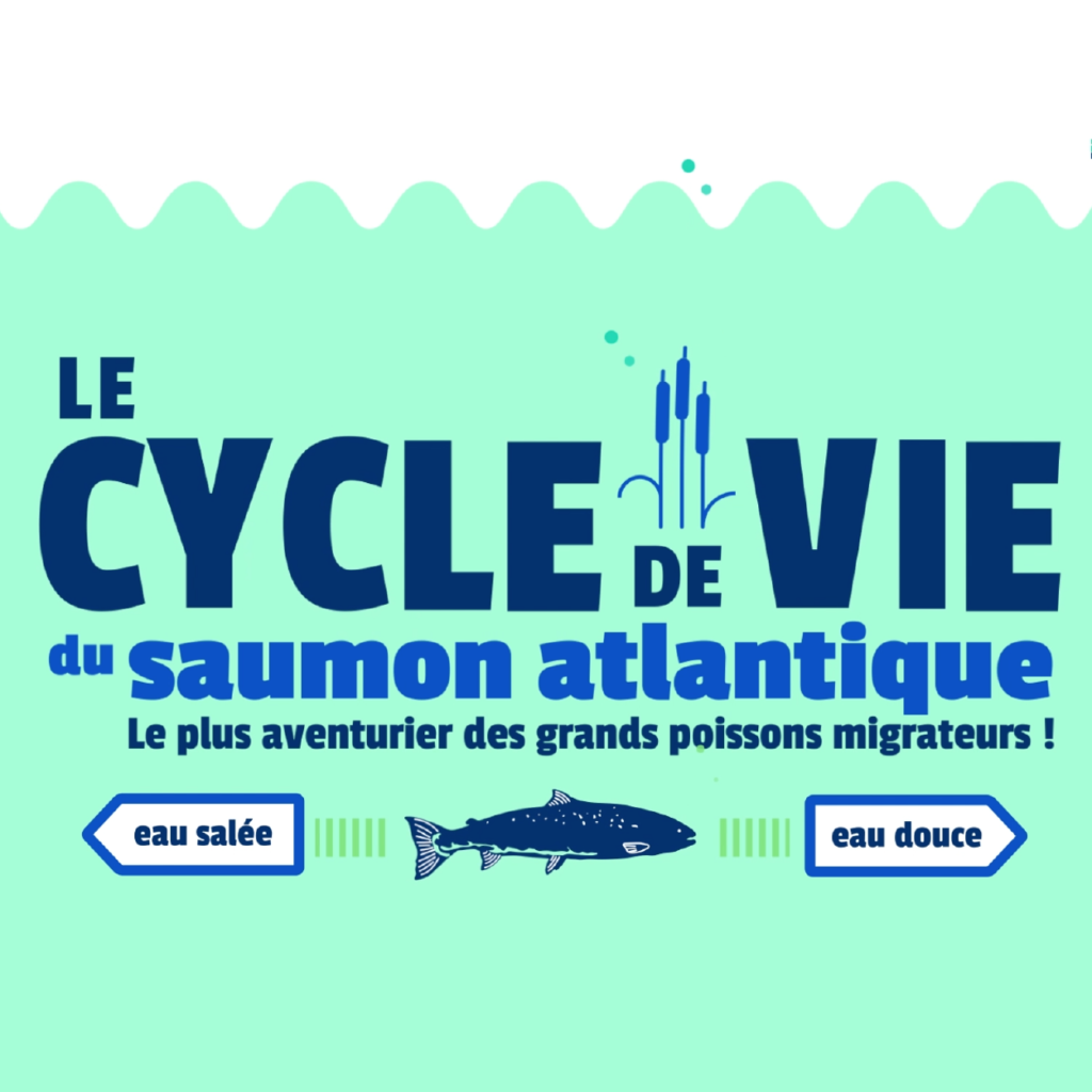 cycle-de-vie-saumon-atlantique